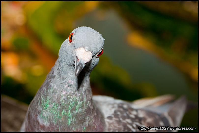 鴿子小紅-009.jpg (810×540)
