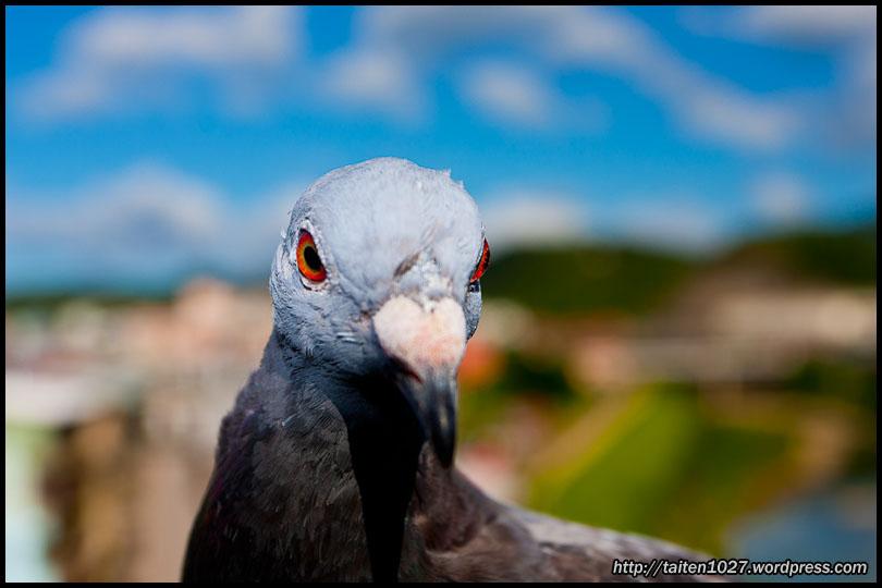鴿子小紅-008.jpg (810×540)