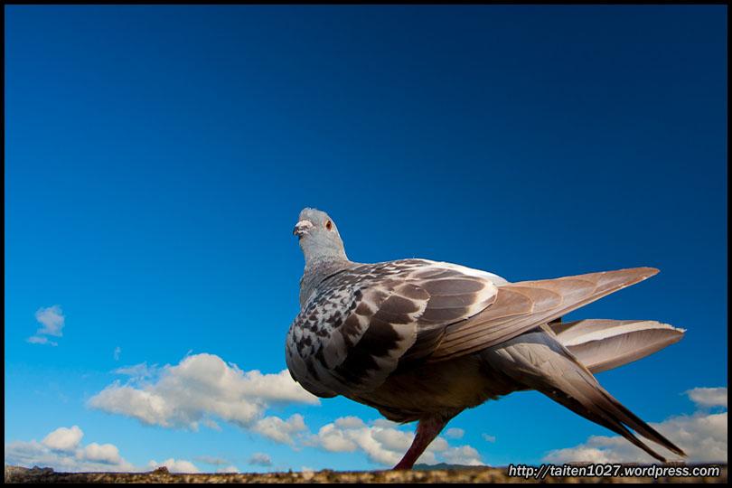 鴿子小紅-001.jpg (810×540)