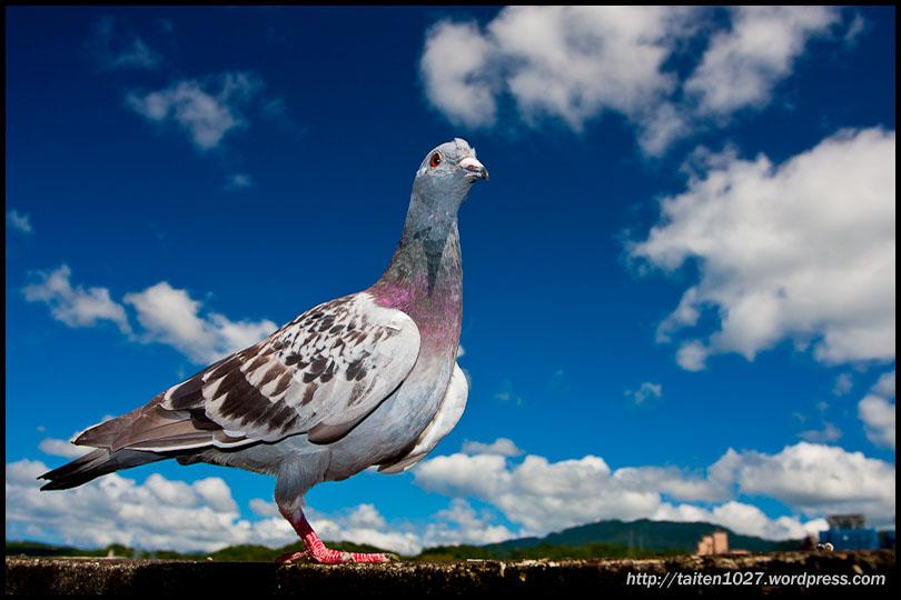 鴿子小紅-006.jpg (810×540)